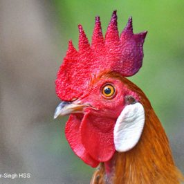 Red Junglefowl – white ear-lappets