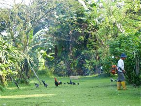 Crested Serpent-eagle and the Red Junglefowl