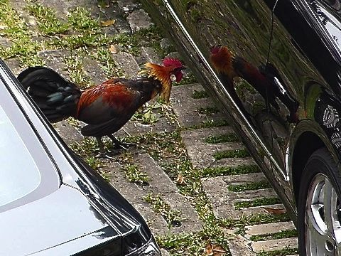More Observations On Red Junglefowl Behaviour (Continued)