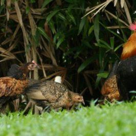 Red Junglefowls thriving at Pasir Ris Park