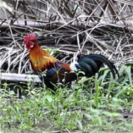 Red Junglefowl: adult male, female, chick and call