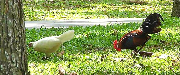 An albino Red Junglefowl