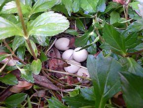 Red Junglefowl eggs