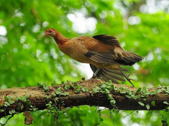 Female Red Junglefowl (Photo credit: Johnny Wee)