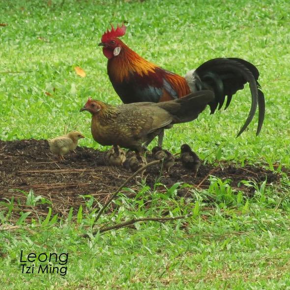 Wild Cock & Family