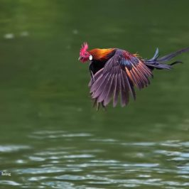 Red Junglefowl in flight