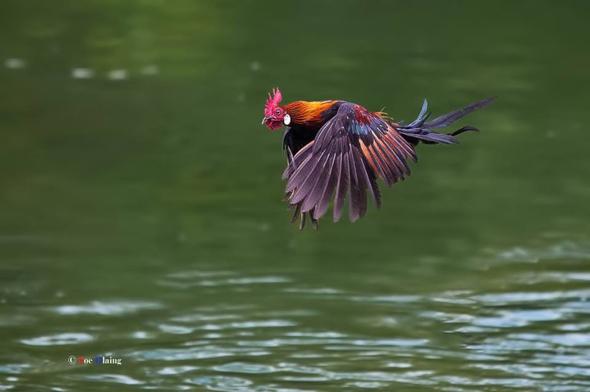 Red Junglefowl in flight