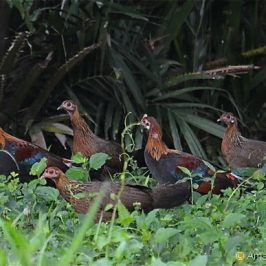 An alpha male Red Junglefowl and his harem