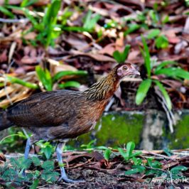 Red Junglefowls