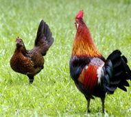 Red Junglefowl Hens' Plumage