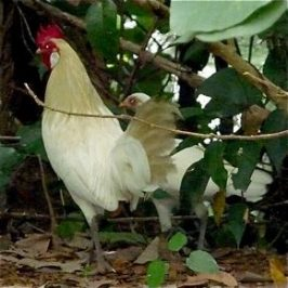 A male and a female albino Red Junglefowl?