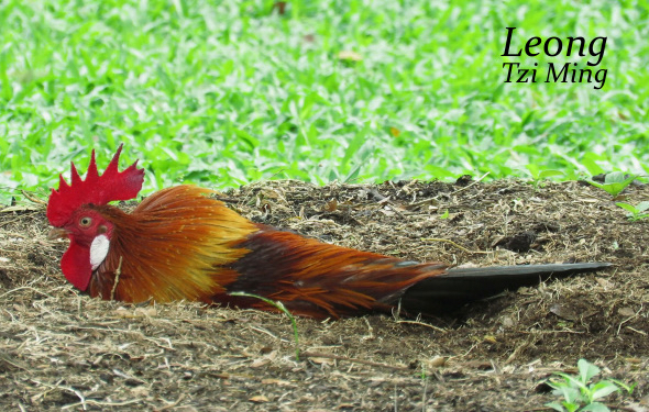 Red Junglefowl-rub/roll
