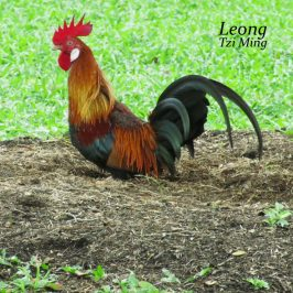 Wild Rooster Rubbing and Rolling
