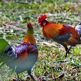 Red Junglefowl – social interaction