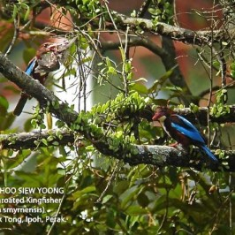 White-Throated Kingfishers and their prey
