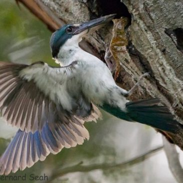Collared Kingfisher caught a frog…