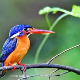 Blue-eared Kingfisher – immature female