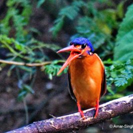Blue-eared Kingfisher – immature female behaviour