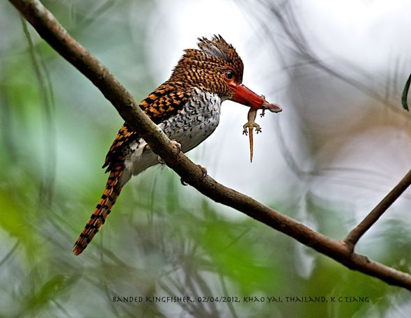 Banded Kingfisher with Prey