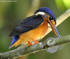 Sub-adult Blue-eared Kingfisher