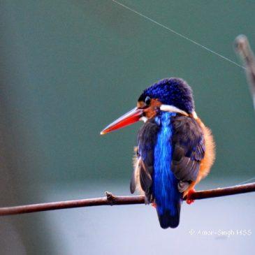 Blue-eared Kingfisher – immature female