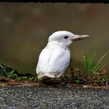 Leucistic Collared Kingfisher at East Coast Park