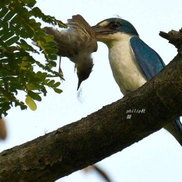 Collared Kingfisher caught a sunbird…