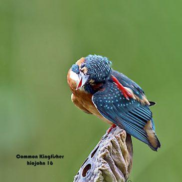 Head scratching among terrestrial birds