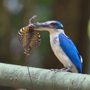 Collared Kingfisher: Food for the young