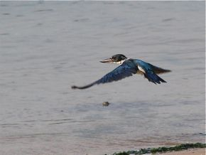 Collared Kingfisher Bathing in Sea Water
