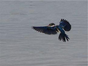 Collared Kingfisher Bathing in Sea Water