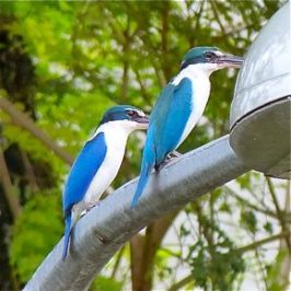 Call and behaviour of the Collared Kingfisher