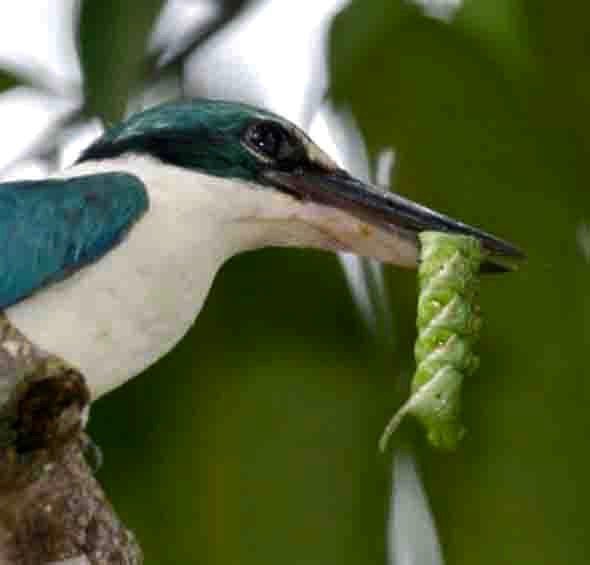 Collared Kingfisher with Privet Hawkmoth caterpillar (Photo credit: YC Wee)