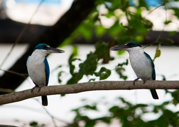 Mating of a pair of Collared Kingfishers