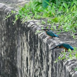 Courting Common Kingfishers