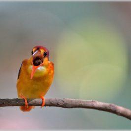 Oriental Dwarf Kingfisher casts a pellet
