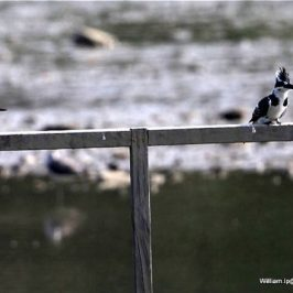 Common Kingfisher and Pied Kingfisher sharing a single pole