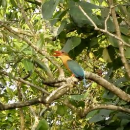 Call of the Stork-billed Kingfisher