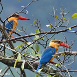 Stork-billed Kingfisher – Display and calls