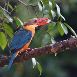 Stork-billed Kingfisher caught a puffer fish