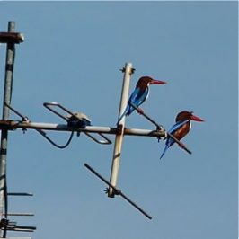 White-throated Kingfisher: Sunning or courtship?