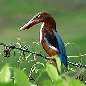 Nictitating membrane and very soft calls of White-Throated Kingfisher
