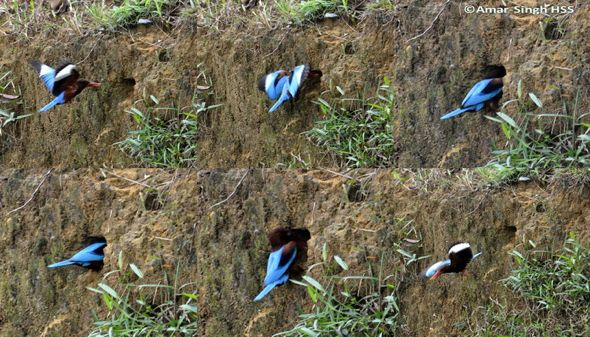 Nesting of the White-throated Kingfisher