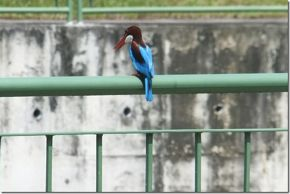 White-throated Kingfisher attacks monitor lizard