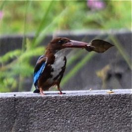 White-throated Kingfisher foraging