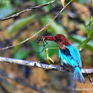 White-throated Kingfisher – Orb Spider prey