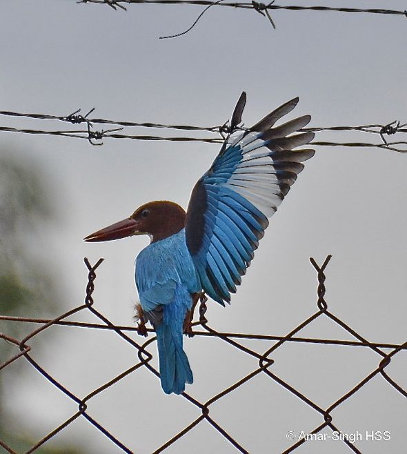 White-throated Kingfisher - trapped