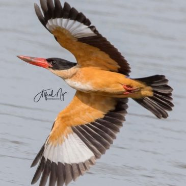 Black-capped Kingfisher caught a crab