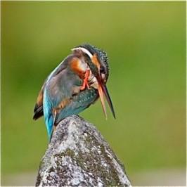 Common Kingfisher: Comfort and feeding behaviour