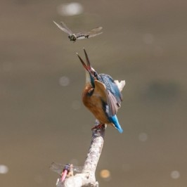 Common Kingfisher caught a dragonfly